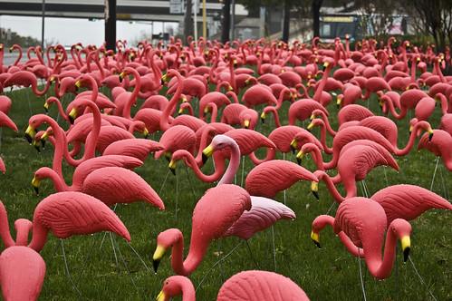 48/365 Pink Flamingos
