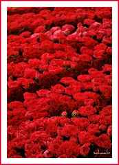 """Life. A """"bed of roses"""" (Explored!) (Sahaab) Tags: life red rose bed explore carnation pun carnations redness shadesofred explored bej abigfave rubyphotographer abovealltherest picturepun"""