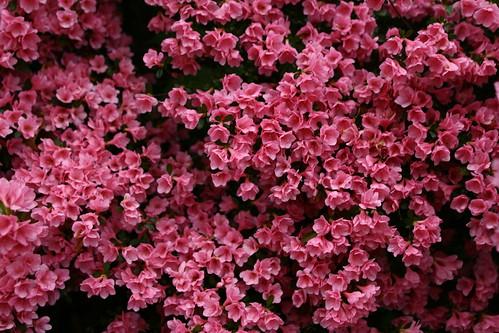 beautiful-pink-spring-flowers