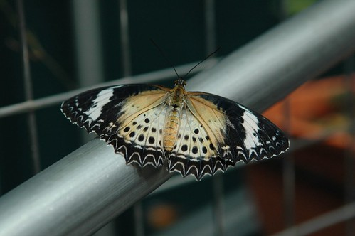 Butterfly resting on a railing (by autumn_leaf)