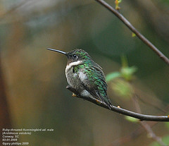 Ruby-throated Hummingbird (Archilocus colubris) ad. male winter (Carolinensis) Tags: winter nature birds hummingbird searchthebest aves rubythroatedhummingbird yardbird blueribbonwinner adultmale nikkor80400mmvr allrightsreserved feederbirds birdphotos archilocuscolubris nikond80 goldstaraward southcarolinabirds vosplusbellesphotos alittlebeauty theresawonderfulworldwaitingjustoutsideyourfrontdoor