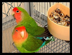 New Additions (LelisA) Tags: lovebirds soe agapornis anaheimca mywinners abigfave platinumphoto colorphotoaward featheredfamily theunforgettablepictures overtheexcellence goldstaraward peachfaceandfischerspecies