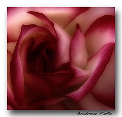 Rose 2 (Andrea Kollo Photography) Tags: flowers roses color nature colors rose gardens gardentours flowerphotos colorfulflowers naturephoto oakridgesmoraine flowerphotography kingtownship flowerphotographs colourfulflower floralphotographs estategardens andreakollo springhillphotography