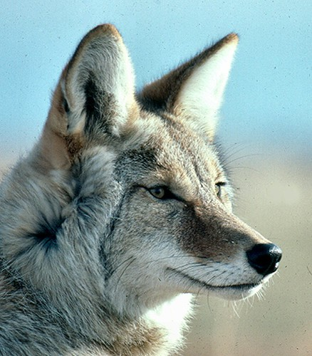 Coyote6RC.jpg
