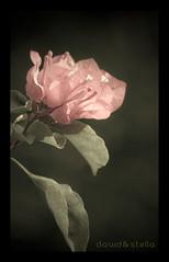 Me & Mrs. Jones (1davidstella) Tags: pink flower antique bougainvillea soe blueribbonwinner darylhall flowerotica billypaul abigfave theunforgettablepictures macromarvels goldstaraward rubyphotographer theenchantedcarousel mallmixstaraward miasbest