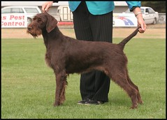 Bronte @ Noorat (Catherine Ryan) Tags: show dog pointer stack wirehaired german vic 2009 bronte gwp noorat mtelephant hirschweb