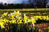Wye Mountain Daffodils (clay.wells) Tags: winter mountain flower green yellow festival rural canon eos 50mm gold march spring interesting clayton wells explore daffodil arkansas f18 rule 2009 ef thirds wye pfo 40d challengeyouwinner img3199 pfogold thechallengefactory