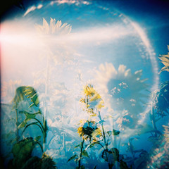 My Sunshine (Fabienne Lin) Tags: light 120 nature holga lomo lomography blossom double sunflower blooming rdp holgagraphy fujiprovia hogla120 120gcnf