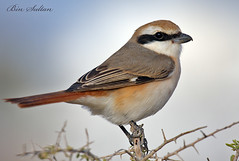shrike  () Tags: shrike    isabelline