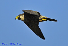 PEREGRINE FALCON IN PASSAGE (spw6156) Tags: copyright lens hand steve iso 400 falcon mm held nationaltrust soe raptors waterhouse peregrine plymbridge cannquarry spw6156 passage500 stevewaterhouse plymperegrineproject plymbridgeperegrinefalcons copyrightstevewaterhouse