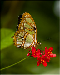 Beautiful wings (Gaby Swanson, Photographer) Tags: macro closeup butterfly photography wildlife butterflies insects schmetterlinge schmetterling gabrieleswanson gabrieleswansonphotography