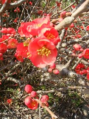 DSC07857.JPG (chinitanglatina) Tags: flowers nature japan spring ome ume yoshino plumblossoms umematsuri