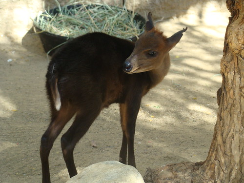 Black Duiker at the Los Angeles Zoo