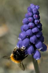 Butinage (Explore) (Lucille-bs) Tags: france flower fleur spring europe bleu mauve parc printemps abeille aile clochette bourdon chatou