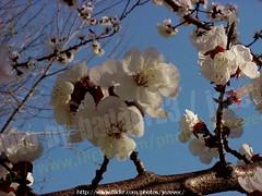 "Apricot  ""Prunus armeniaca"" 2003-04-02 083 Home-Spring-Apricot-Forsythia (Badger 23 / jezevec) Tags: 2003 trees flower tree fleur forest log timber flor boom april apricot   blume fiore albero arbre strom baum puno 20030402 prunus bloem cais  koks   albaricoque drzewo aprikose  albicocca   jezevec  mti abricot abrikoos kvt aprikos arbore vbr      aprikoosi   prunusarmeniaca   wabigon  alperce  parmeniaca badger23  abrikosas trd aprikozes  tr rvore rbol"