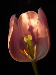 Internal light (annkelliott) Tags: pink flowers light canada f