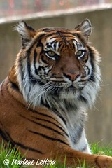 Sumatran Tiger (Leffson Photography) Tags: nature washingtondc wildlife tiger nationalzoo sumatrantiger exoticcats bigcats fonz endangeredspecies bengaltiger blueribbonwinner canon70200mmf28l nationalzoowashingtondc allrightsreserved canonxti endangeredcats flickrbigcats photocontesttnc09 marleneleffson leffsonphotography marleneleffson allrightsreservedmarleneleffson causeanuproar