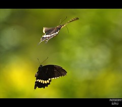Flight of fancy (Ajith ()) Tags: life family light white motion black green love nature yellow butterfly photography fly still wings order time bokeh pair class lepidoptera u mating species p mormon dots common mates coloured polygamy swallowtail genus papilio papiliopolytes commonmormon timing clicks ajith freez insecta papilionidae butterflyindia polytes papilioninae subfamily hbw ultimateshot diversityindia ajithu uajith ajitu colouredclicks ajithphotography ajithuuphotography ajithuphotography colouredclickscom coloredcicks coloredclicks ajithuwordpresscom ajithkumaru