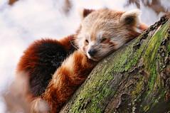 [フリー画像] [動物写真] [哺乳類] [レッサーパンダ] [寝顔/寝相/寝姿]       [フリー素材]