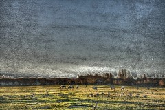 Port meadow with ducks, geese and horses (pcgn7) Tags: uk morning england horse march duck goose pony oxford blended oxforduniversity 2009 portmeadow blueribbonwinner photomatix rawhdr pcgn7 metaltexturebyaztextures