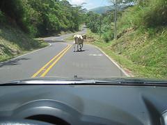 Costa Rica Cow Road