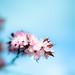 Cherry Blossom by AMERICANVIRUS