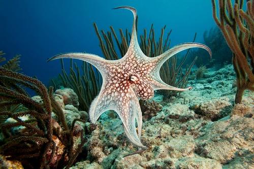 Common Octopus Swimming Common Octopus Bonaire