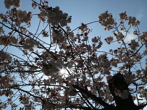 Japanische Kirschblüte 5