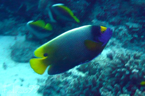 Yellowface angelfish at Similan Islands, Thailand