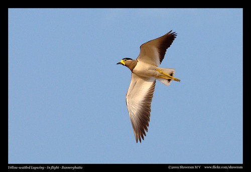 Yellow-wattled Lapwing - In Flight