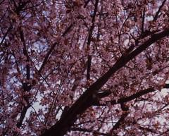 (micampe) Tags: fuji rosa summicron 40mm provia treviso 100f leicacl fiorellini