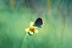 Butterflies are self propelled flowers (Kidd *) Tags: flower texture butterfly paper 50mm crossprocessed singapore bokeh lightleaks viewlarge kallang orelse closeupfilters smallbutterfly nikond40 epicfail butgoodtryd