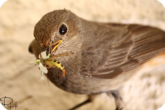 Are You Hungry? I've Got Something For You... (ART DODA ) Tags: best mummy world black redstart hausrotschwanz bird animal feeding insects canon eos 450d digital rebel xsi efs 55250 mm phoenicurus ochruros are you hungry