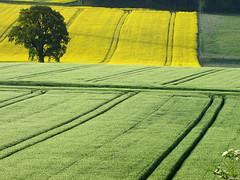 Shades of green and yellow (RainerSchuetz) Tags: texture field landscape spring oak farming landwirtschaft scenic feld rape land agriculture wonderland landschaft raps minimalistic canola