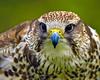 intensity... (beachwalker2008) Tags: bird raptor falcon laggarfalcon falcojugger luggerfalke lightstylus vosplusbellesphotos