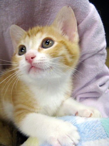 Risultati immagini per pictures cats white and orange tabby
