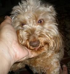dog chien frank hound canine dachshund perro hund wienerdog dackel teckel k9 doxie sausagedog aplaceforportraits pointyfaceddog
