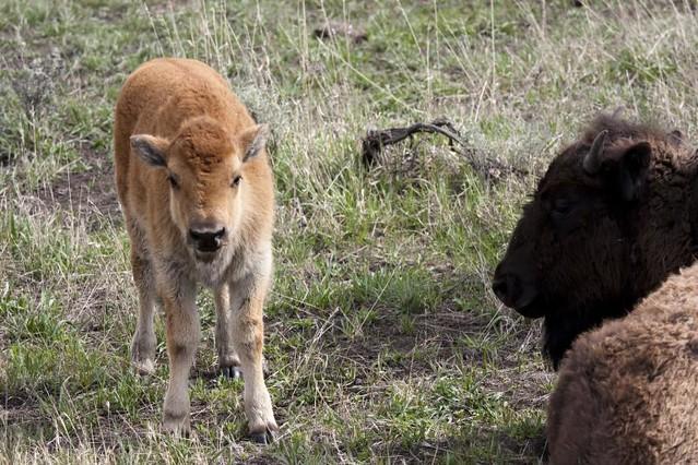 Baby Buffalo