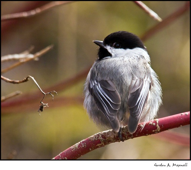 A ruffled Chickadee