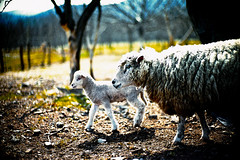 First Stroll (moaan) Tags: leica light sunlight digital 50mm spring dof sheep bokeh walk f10 utata april lamb noctilux stroll motherandchild m9 2011 leicanoctilux50mmf10 leicam9 gettyimagesjapanq3
