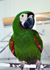 "Herbie says, ""Have a good week"" (RLBrinkman~in and out-mostly out) Tags: birds pars parrots parrotsr4ever"