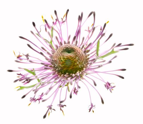 Rose Cone Flower
