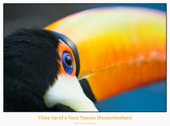 Toucan (Arie van Tilborg) Tags: bird bill toucan beak toekan snavel ramphastidae canonef70200mmf28lisusm estremità arievantilborg multimegashot gemsofnature abovealltherest naturescreations
