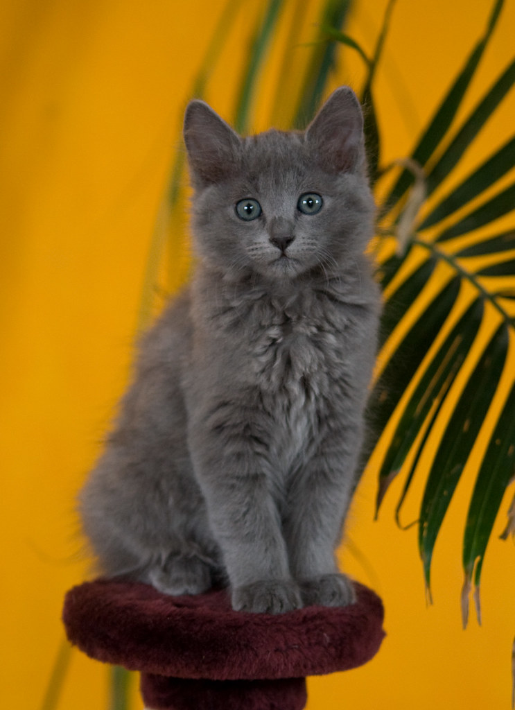 photo contest - Winter 2009-  Your favorite (Nebelung)photo 3300745304_ab5bae28c1_b