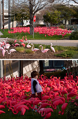 flamingoed! (Bill Oriani) Tags: pink austin flamingoes bill texas child plastic 2009 southaustin oriani 50200mmf2835 olympuse3 billoriani