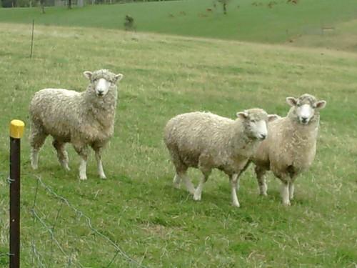 Sheep in Geraldine, New Zealand