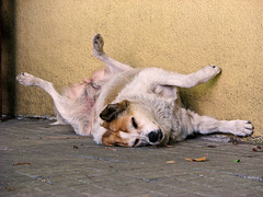 [ s i e s t a ]  - (Explored) (i-nacho) Tags: dog wall pose uruguay pared funny sleep perro sidewalk siesta dormir position vereda graciosa coloniadelsacramento posicin