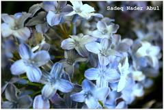 Purpilish (Sadeq Nader Abul) Tags: flowers canon eos purple kuwait nader kmt sadeq  abul   400d wonderfulworldofflowers  kuwaitmacroteam