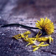 Fuori c'è un mondo Fragile (FotoRita [Allstar maniac]) Tags: life wood italy rome flower roma macro colors digital canon micro daisy fiore myfavourites canoneos350d eos350d margherita legno byfotorita fuoricèunmondofragile