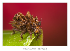 2.20 Beetle - Weevil ... look like alien !!! ... (ID Needed)